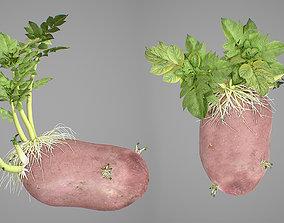 3D Young potato plant