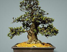 Bonsai Tree 3D model low-poly tree