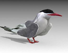 Arctic Tern 3D asset