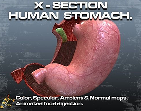 3D asset Cross Section Human Stomach