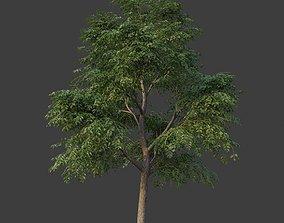 3D model XfrogPlants Kentucky Coffeetree - Gymnoclades