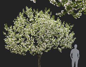 3D model Malus flowering 05