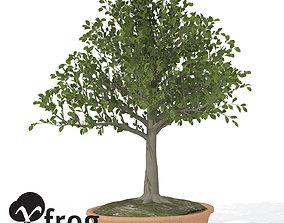 3D XfrogPlants European Beech - Bonsai