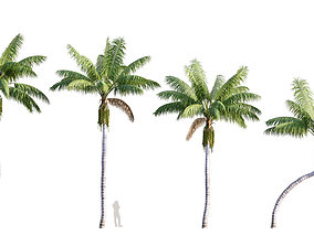 3D model Howea forsteriana Mature - Kentia Palm Mature -