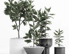Plants and Planters 7 Ficus Elastica 3D model