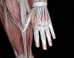 3D asset Male muscule anatomy