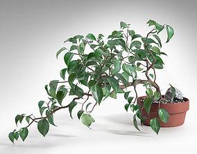 3D Ficus Wiandi Bonsai in Pot