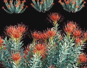 Leucospermum - Scarlet Ribbons - Pincushion 3D model 2