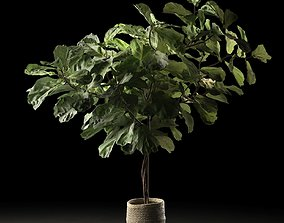 3D model Ficus in Woven Seagrass Basket 2