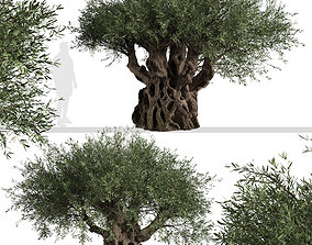 Set of Olive or Olea europaea Trees - 2 Trees 3D 1