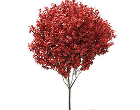 3D Red Maple Acer rubrum 5m