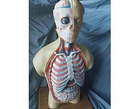 anatomy Human Thorax Anatomy Model