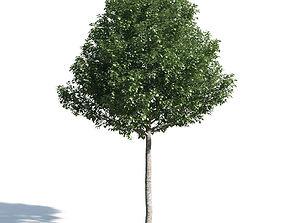 Populus alba pyramidalis 50 am154 3D