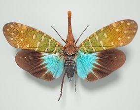 3D model Cicada Pyrops Pyrorgyncha Borneo Insect