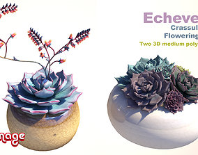 Echeveria Crassulaceae flowering plants 3D