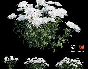 3D Chrysanthemum flower Plant set 04