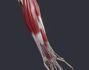 Extensors Of The hand 3D model