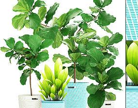 3D Ficus plant collection