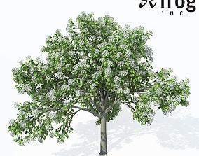 3D model XfrogPlants Wild Service Tree