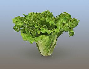 Lettuce sativa 3D