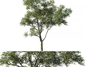 Eucalyptus saligna 3D
