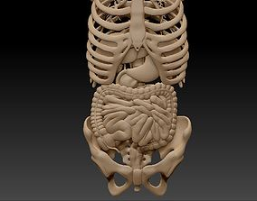 3D Anatomy skeleton pelvis spinal column ribs and 1
