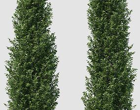 Plant Ficus Nitida 3D
