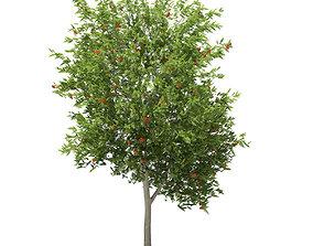 3D European Rowan Sorbus aucuparia 7m