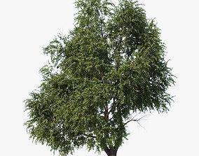 animated 3D model Elm tree animated