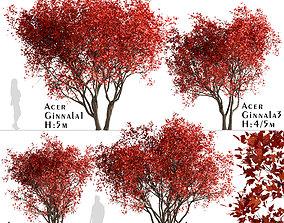 Set of Acer Ginnala or Amur Maple Trees - 4 3D model