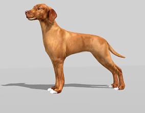 3D asset hungarian vizsla dog