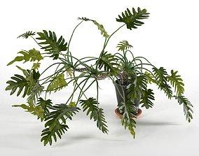 Philodendron Xanadu in Pot 3D model