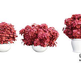 Solenostemon colorblaze rediculous mono tree 3D
