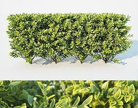 3D Ligustrum ovalifolium Nr2 - modular hedge H60cm