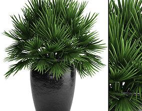 Chamaerops palm 2 3D model