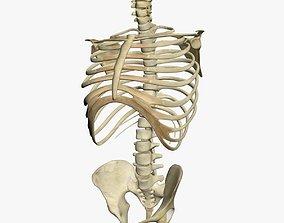 3D model Human Skeleton Torso
