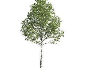 3D Populus alba 49 am154