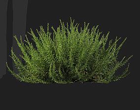 Calluna vulgaris Scotch heather-07 3D model