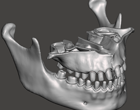3D printable model Human maxillary and mandibular jaws 2