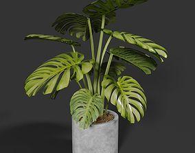 Monstera in concrete pot 3D