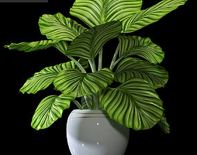 Calathea plant 87 3D
