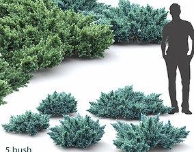 nature 3D model Juniperus Squamata 01