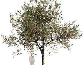 Northern Red Oak Var2 3D model