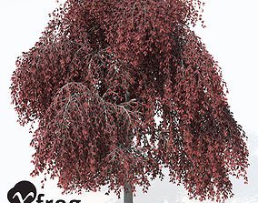 3D model XfrogPlants Weeping European Beech
