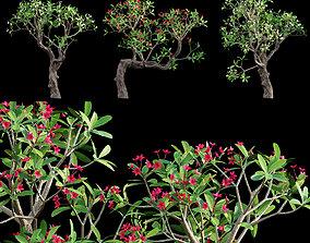 3D model Plumeria rubra - Frangipani Tree 04