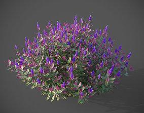 XfrogPlants Hebe Purple Queen 3D