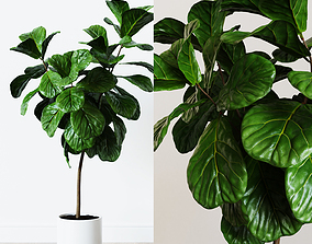Ficus Lyrata- Fiddle Leaf Fig Plant 3D model