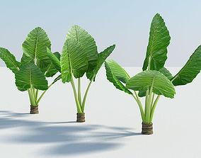 Alocasia Montana - large exotic tropical plant 3D asset