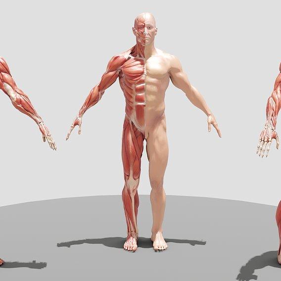 Male Full Body Ecorche
