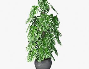 shrub Monsteera 04 3D